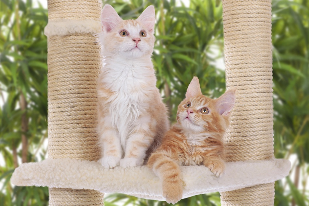 Kätzchen auf Kratzbaum