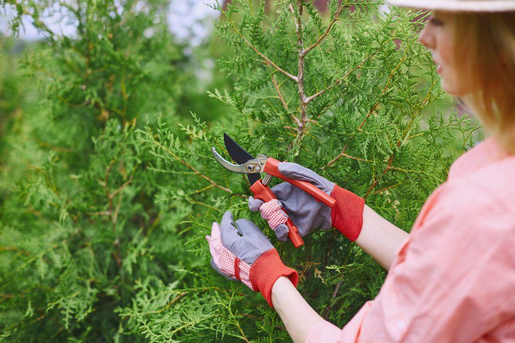 lebensbaum-hecken-schneiden