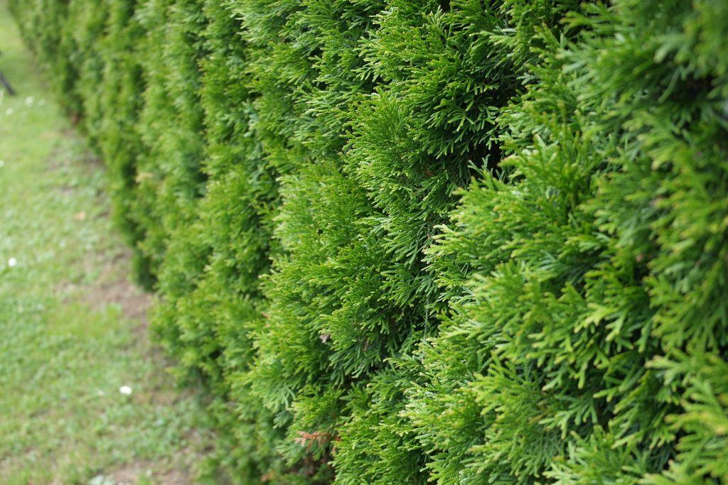 thuja-hecken-pflanzen