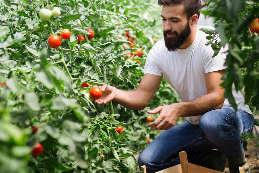 tomaten-pfluecken-ernte