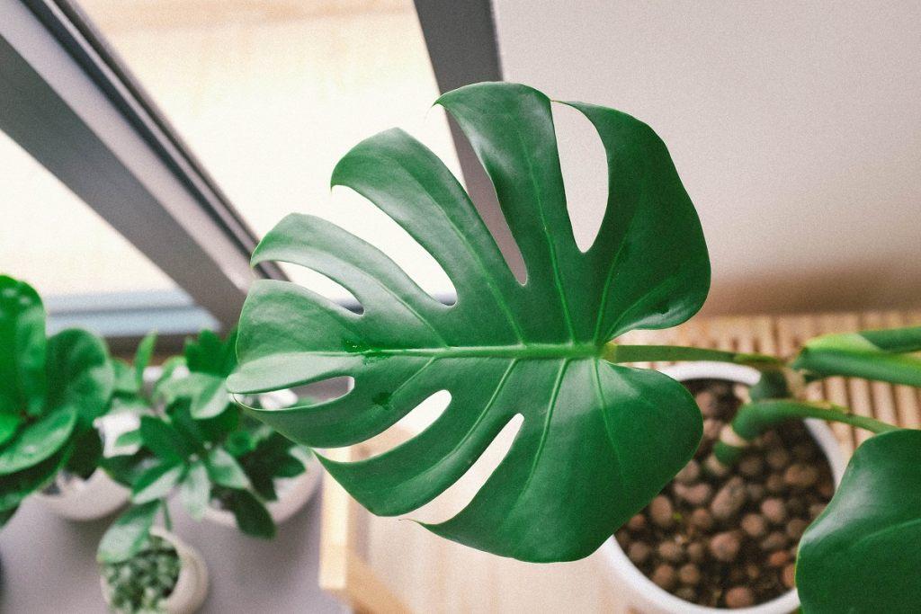 monstera-trendsetter-zimmerpflanze